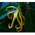 Ylang Ylang (Etherische olie)